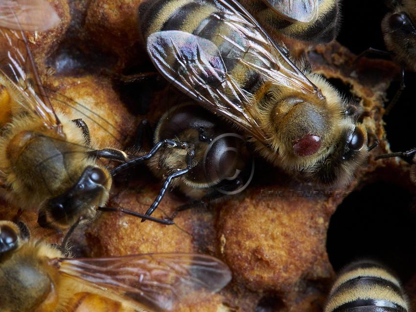 The birth of drones in the brood surrounded by nurse bees. A parasite, the varroa destructor, is on one of the nurses. The varroa often use the drones' cells to raise their offspring.<br /> Naissance d'un faux-bourdon sur le couvain entour&eacute; de nourrisses. Sur une nourrisse, un parasite, le varroa destructeur. Les varroa utilisent souvent les cellules des faux-bourdons &eacute;lever leur descendance.