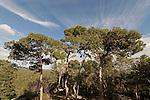 Israel, Mount Carmel. Pine trees in Ofer forest