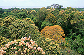 Ariau, Amazon, Brazil. Overview of flowering trees in the canopy of the rainforest; Rio Negro, Amazonas State.