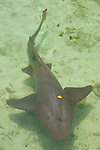 Nurse shark (Ginglymostoma cirratum) Oceanarium, San Martin de Pajarales island, Rosario islands, Cartagena de Indias, Colombia, South America.