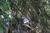 Danny Willett (ENG) in the trees off the 5th tee during Saturday's Round 3 of the 2018 Omega European Masters, held at the Golf Club Crans-Sur-Sierre, Crans Montana, Switzerland. 8th September 2018.<br /> Picture: Eoin Clarke | Golffile<br /> <br /> <br /> All photos usage must carry mandatory copyright credit (&copy; Golffile | Eoin Clarke)