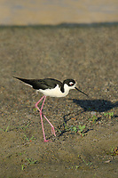 579500030v a wild black-necked stilt himantopus mexicanus along the los angeles river los angeles county california