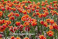 63821-21513 Orange Ruffled Tulips in spring at Lilacia Park, Lombard, IL