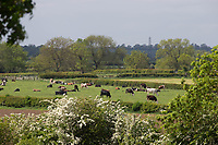 11.5.2020  Dairy cows  in the Vale of Belvior in Lincolnshire <br /> ©Tim Scrivener Photographer 07850 303986<br />      ....Covering Agriculture In The UK....