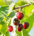 Margraten  - kersen , fruit, boomgaard, in de baan.  Rijk van Margraten.  COPYRIGHT KOEN SUYK
