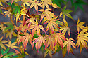 Autumn foliage of Japanese maple (Acer palmatum 'Katsura'),early November.