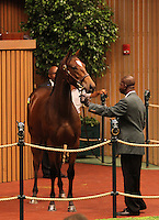 Hip #33 Giant's Causeway - Swan Nebula at the Keeneland September Yearling Sale.  September 10, 2012.