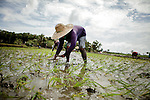 Farmer planting rise In Narra, the rice field of Palawan, Jan 2012..Narra is one of the affected area by the new Chinese Nickel Mining operation in the area, the land has been polluted by the tossic waste of the Mine, and most of the land cannot be colitavated anymore....