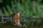 A brightly coloured kingfisher bursts clear from the water with a tiny silver fish in its beak.  The bird dived from a branch almost a metre above the clear pool to catch the small roach.<br /> <br /> After catching it, the kingfisher withdrew into the shadow to watch for its next meal.  Amateur photographer and architect Albert Beukhof captured the scene in Rijssen, in the Netherlands.  SEE OUR COPY FOR DETAILS.<br /> <br /> Please byline: Albert Beukhof/Solent News<br /> <br /> © Albert Beukhof/Solent News & Photo Agency<br /> UK +44 (0) 2380 458800