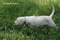 SH39-515z 3 Month old Labs, Labrador Retriever