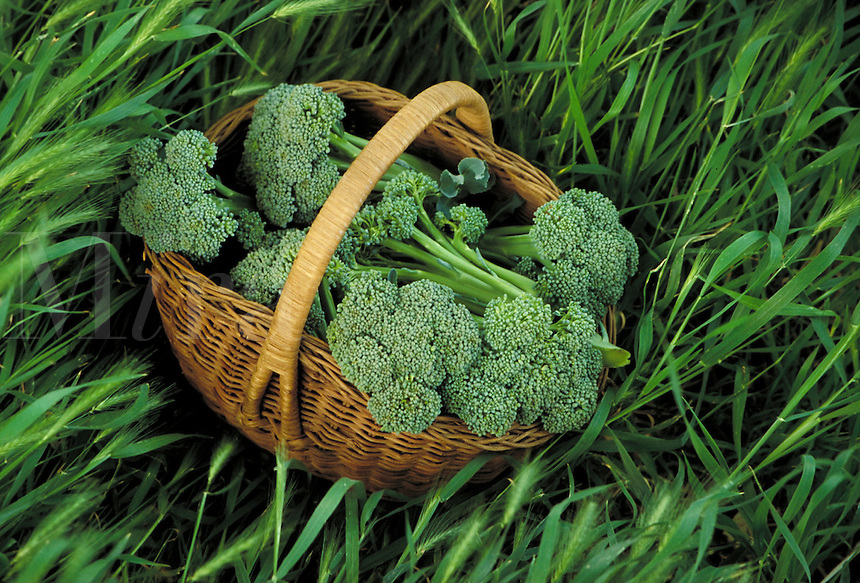 A basket of broccoli sitting in a bed of green grasses. Freshly harvested from the garden. .