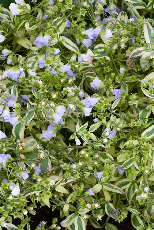 Polemonium reptans 'Stairway to Heaven' variegated perennial with blue flowers