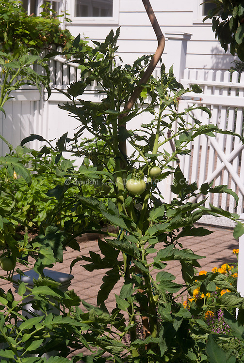 Tomato 'Tye-Dye' growing in green stage on plant, beefsteak variety
