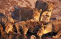 Lions drinking at water hole, Savuti, Botswana