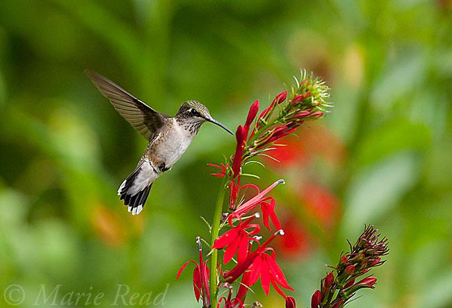 Ruby-throated Hummingbird (Archilochus colubris) adult female feeding on nectar from Cardinal-flower (Lobelia cardinalis), New York, USA