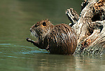 Coypu, Myocaster coypa, grooming, by water, Camargue, Southern France.France....