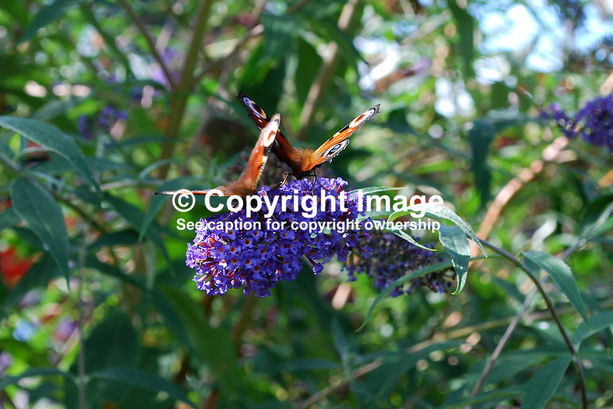 Red Admiral butterflies photographed on a Buddleja bush not inappropiately named the butterfly bush. This butterfly is common throughout Britain and Ireland. In northern Europe, it is one of the last butterflies to be seen before winter sets in.  20110800424.   Copyright Image from Victor Patterson, 54 Dorchester Park, Belfast, United Kingdom, UK.  Tel: +44 28 90661296..For my Terms and Conditions of Use go to http://www.victorpatterson.com/Victor_Patterson/Terms_%26_Conditions.html