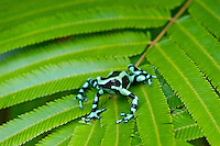 Green and black poison dart frog, Green-and-black poison dart frog or Green and black poison arrow frog, and sometimes Mint poison frog (Dendrobates auratus) found in Central American and northern South American tropical rainforests. This one photographed in Costa Rica.