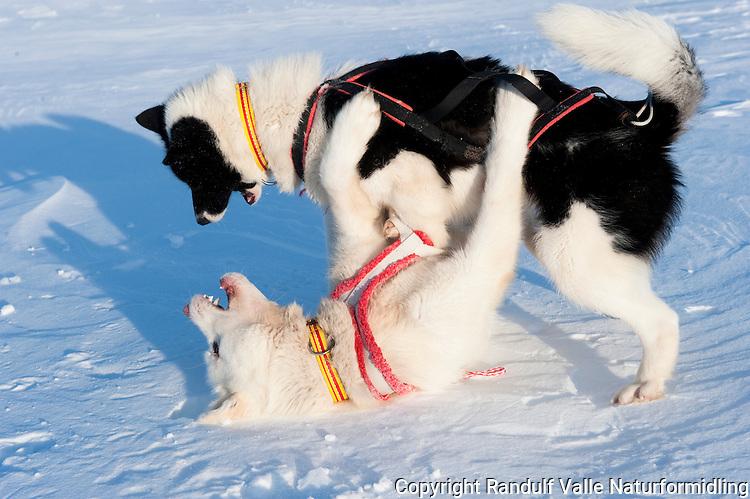 Grønlandshunder leker. ---- Grenland dogs playing.