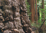 FB 374  Redwood Forest. 5x7 postcard