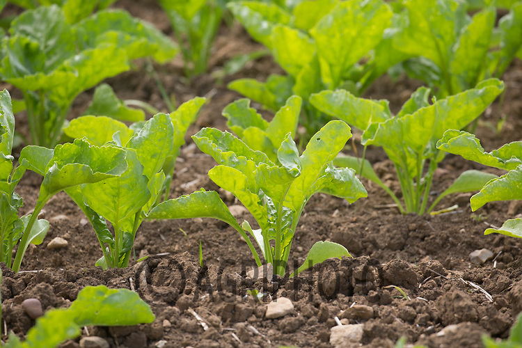 Sugar beet plants growing <br /> &copy;Tim Scrivener Photographer 07850 303986<br /> ....Covering Agriculture In The UK....