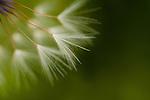 Dandelion close-up view backlit