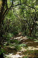 Track through the forest of Laura silva trees,            La Gomera, Canary Islands, Spain