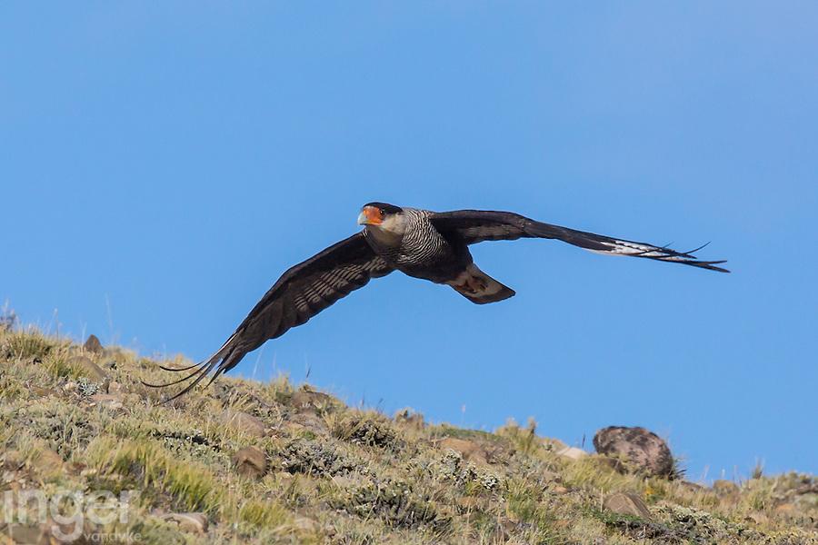 Crested Caracara in flight at Estancia la Angostura in Patagonia