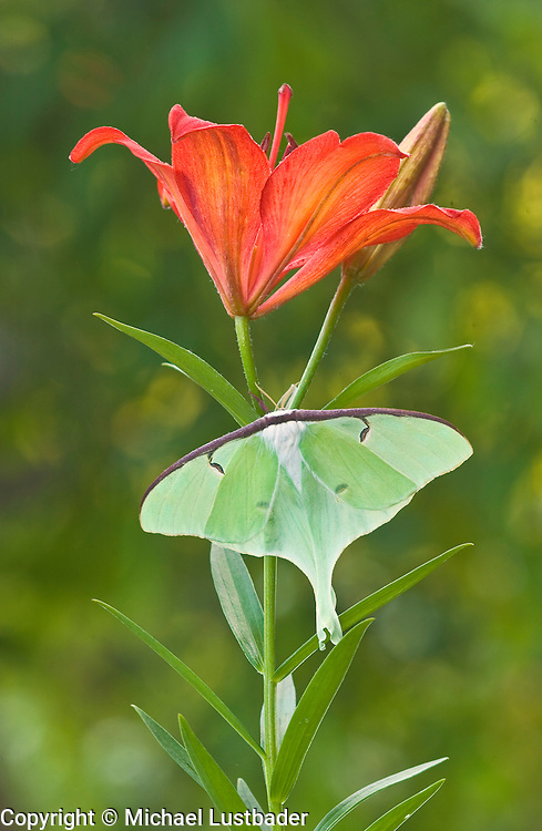 Luna Moth (Actias luna) on lily