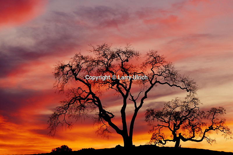 Valley oaks at sunset<br />