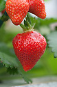 Strawberry 'Honeoye', an early season variety popular with commercial growers.