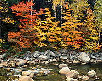 Forest in fall color along the Pemigewassett River; White Mountains National Forest, NH