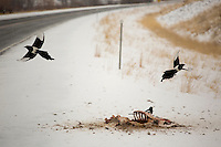 Magpies fly from a deer carcass north of Deer Lodge, Montana, USA.