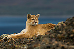 Mountain Lion (Puma concolor) six month old male kitten, Torres del Paine National Park, Patagonia, Chile