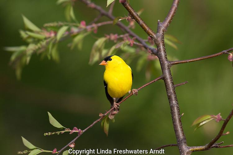 Male American goldfinch