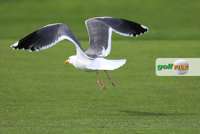 Seagull takes off during the first round of the AT&T Pro-Am, Pebble Beach Golf Links, Monterey, California, USA. 07/02/2019<br /> Picture: Golffile | Phil Inglis<br /> <br /> <br /> All photo usage must carry mandatory copyright credit (© Golffile | Phil Inglis)