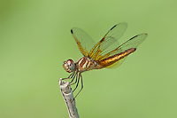 304590007 a male slough amberwing perithemis domitia perches on a dead stick near the naba site along the rio grande river hidalgo county texas united states