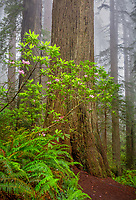 Redwood National Park, CA:  Flowering Pacific rhododendron (R. macrophyllum) against Redwood tree in fog