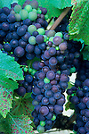Wine grapes on the vines at Byington Vineyard & Winery, Santa Cruz Mountains, California