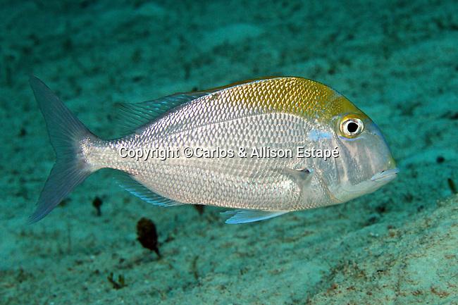 Calamus pennatula, Pluma, Eleuthera, Bahamas