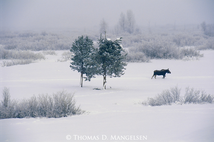 A moose walks through the willows to the forest to take shelter for the night in Grand Teton National Park, Wyoming.