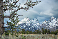 Stormy Day, Limbar Pine, Cathedral Group, Grand Tetons, Grand Teton National Park