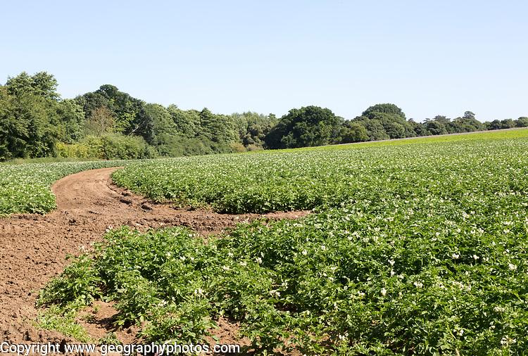 Potato crop in summer growing in field, Shottisham, Suffolk, England, UK