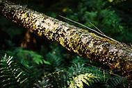 Image Ref: YR168<br /> Location: Wirrawilla Rainforest, Toolangi<br /> Date: 27.01.18
