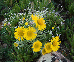alpine sunflower, Hymenoxys grandiflora, tundra, wildflower, summer, Trail Ridge, Rocky Mountain National Park, Colorado, USA