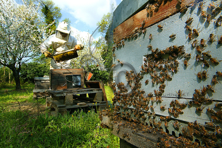 A queen-breeding apiary in springtime.