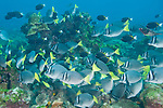 Cocos Island, Costa Rica; several Goldrim Surgeonfish (Acanthurus nigricans) join a school of Razor Surgeonfish (Prionurus laticlavius) as they move across the rocky reef, foraging for food