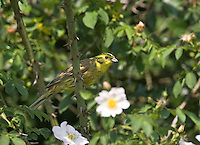 Goldammer, Männchen, Emberiza citrinella, Yellowhammer, Bruant jaune