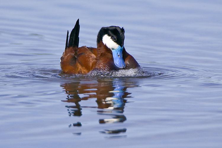 Ruddy Duck displaying on a lake