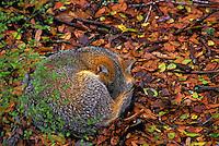 Gray Fox sleeping..Autumn. Florida..(Urocyon cinereoagenteus).